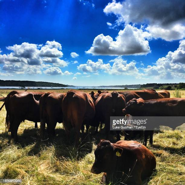 cows grazing on field against sky - medium group of animals stock pictures, royalty-free photos & images