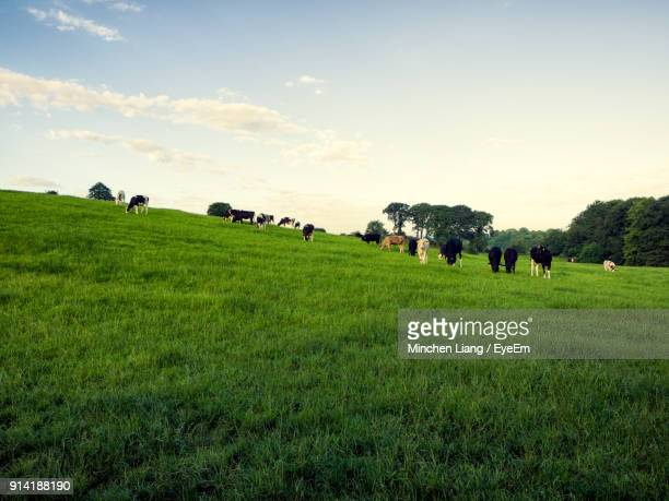 cows grazing on field against sky - grazing stock pictures, royalty-free photos & images