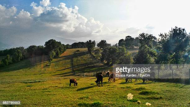 Cows Grazing On Field During Sunny Day
