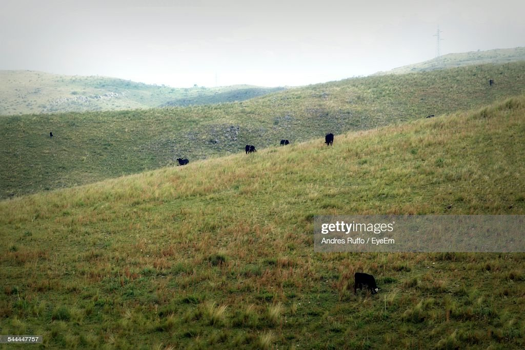 Cows Grazing On Field : Stock Photo