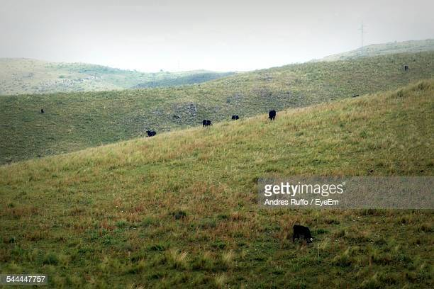 cows grazing on field - andres ruffo stock-fotos und bilder