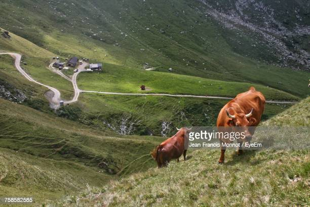 cows grazing on field - rhone alpes stock photos and pictures