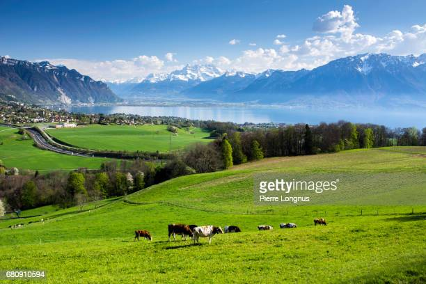cows grazing on grassy field above lake geneva - vevey - vaud - switzerland - モントルー ストックフォトと画像