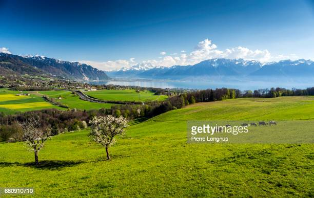 Cows Grazing On Grassy Field Above Lake Geneva - Vevey - Vaud - Switzerland