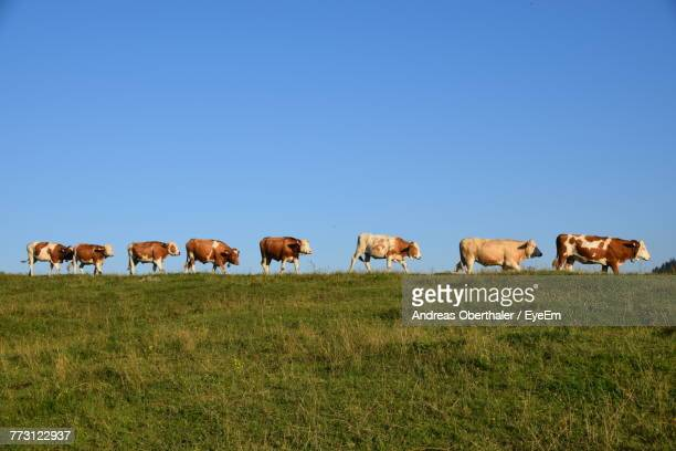 Cows Grazing On Grassy Field Against Clear Sky