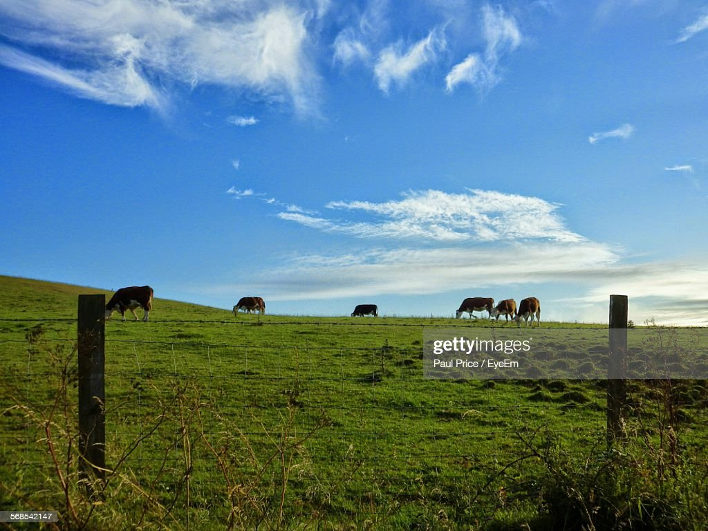 Cows Grazing On Grassy Field Against Sky : Stock Photo