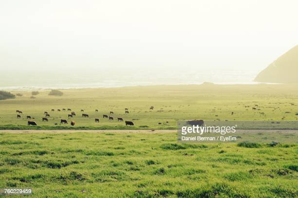 cows grazing on grassy field against sky - pasture stock pictures, royalty-free photos & images