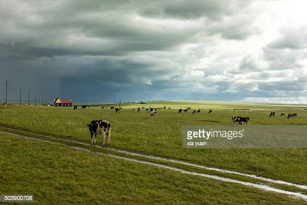 Cows Grazing On Hulunbuir Grasslands,Hulun Buir City,Inner Mongolia,China