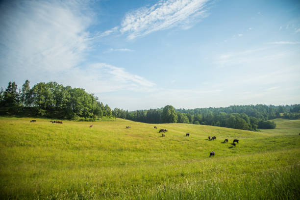 Cows grazing on meadow, Stende, Talsi, Latvia