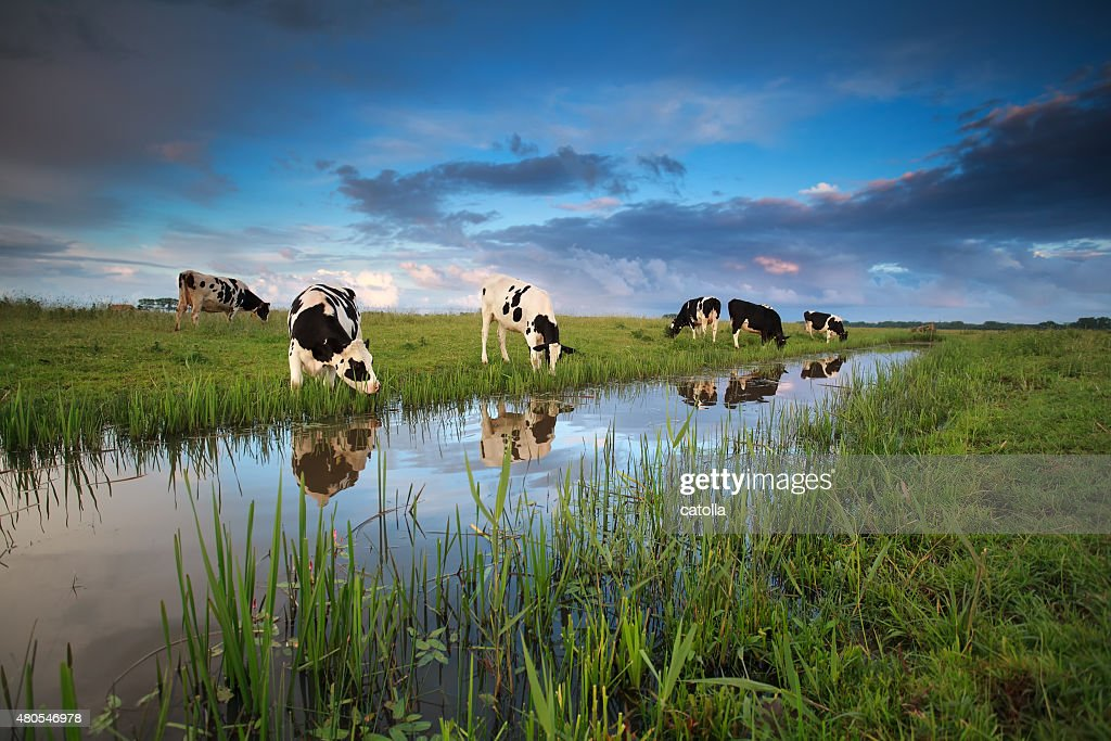 cows grazing on pasture by river : Stock Photo