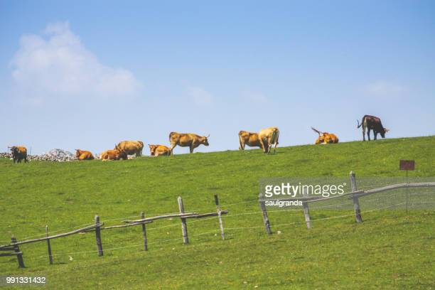 Cows grazing on the top of the hill