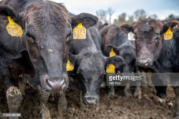 Cows grouped up closely together , Monkton, Maryland, USA.