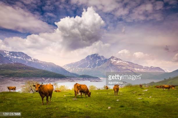 allevamento di mucche sul lago di cenis, paesaggio alpino – gran paradiso – italia - parco nazionale del gran paradiso foto e immagini stock