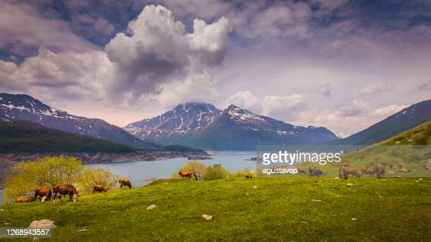 cows herding in lake mont cenis, alpine landscape – vanoise – france - savoie stock pictures, royalty-free photos & images