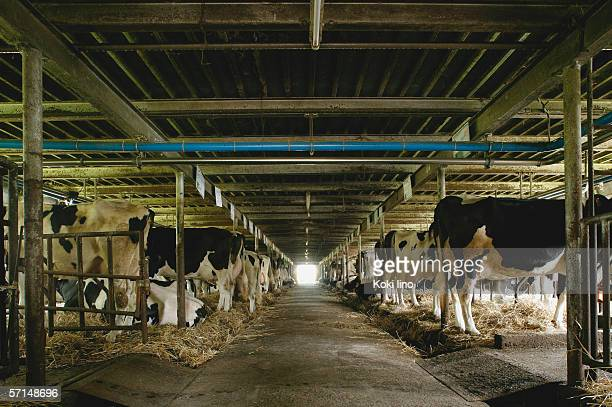 Cows in a barn