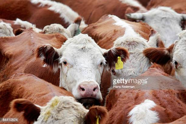 Cows in a corral