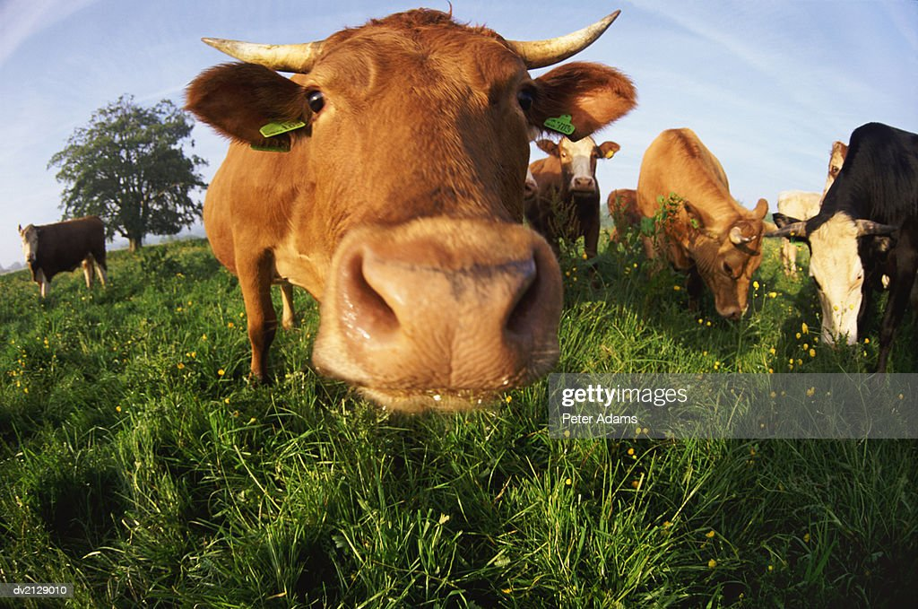 Cows in a Field, Fish Eye Lens : Stock Photo