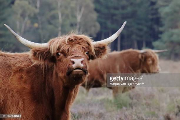 cows in a field - van dijk stock pictures, royalty-free photos & images