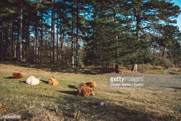 cows in a field - bortes stock pictures, royalty-free photos & images