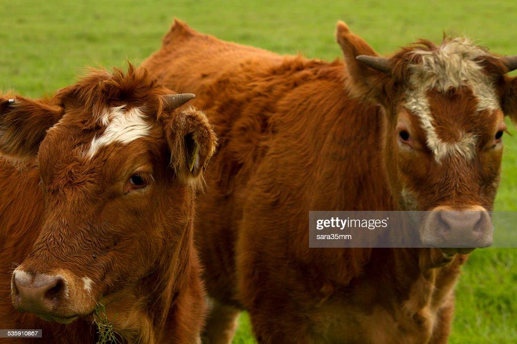 Vacas em um campo : Foto de stock