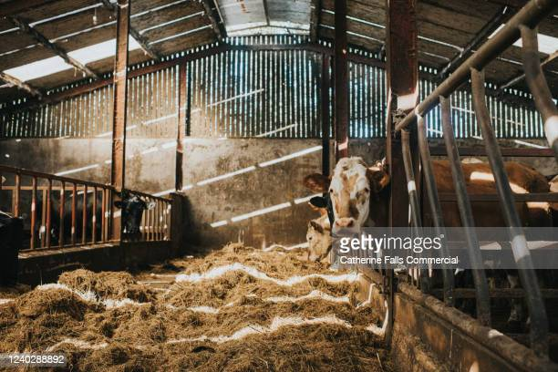 cows in a large cattle shed - farm stock pictures, royalty-free photos & images
