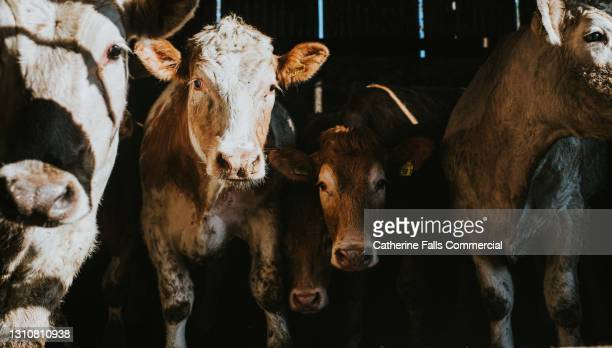 cows in a large dark cattle shed - animal stock pictures, royalty-free photos & images