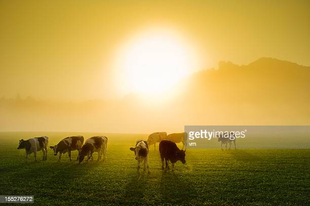 Cows in a meadow at sunrise