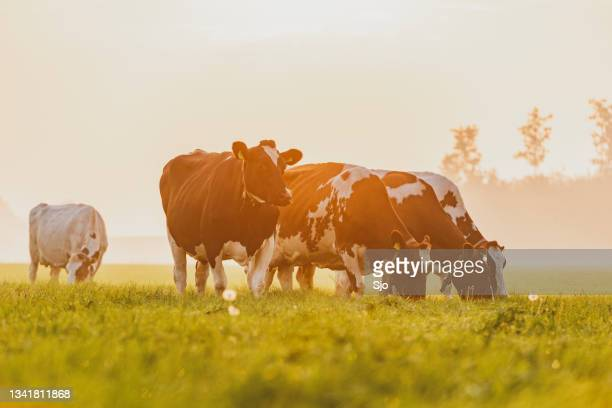 """cows in a meadow during a misty sunrise in the countryside - """"sjoerd van der wal"""" or """"sjo""""nature stockfoto's en -beelden"""