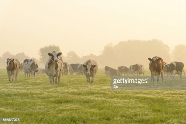 koeien in een weide tijdens een mistige sunrise - weiland stockfoto's en -beelden