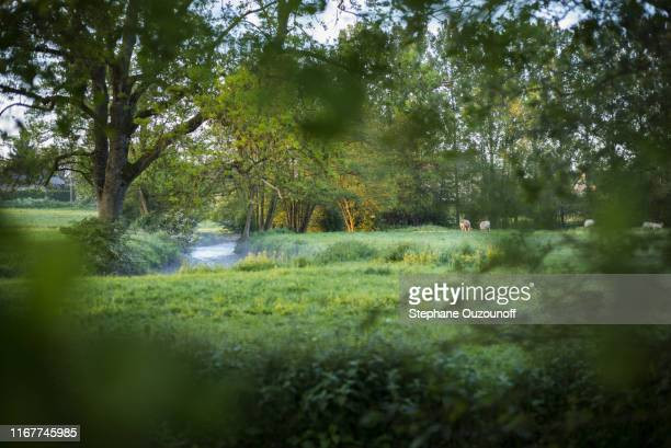cows in a medow, normandy, france - ノルマンディー ストックフォトと画像