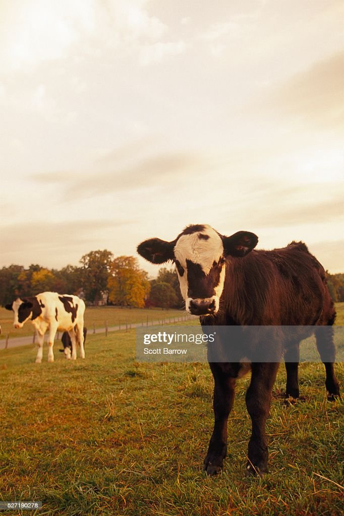 Cows in a pasture : Bildbanksbilder