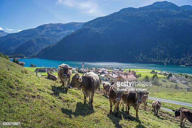 Cows in a swiss pasture