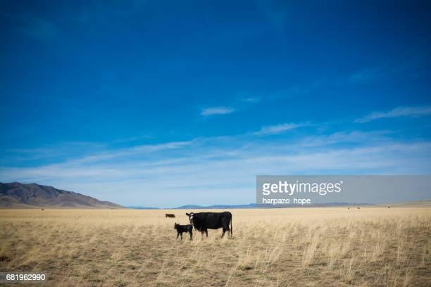 Cows in a wide open plain in Utah.