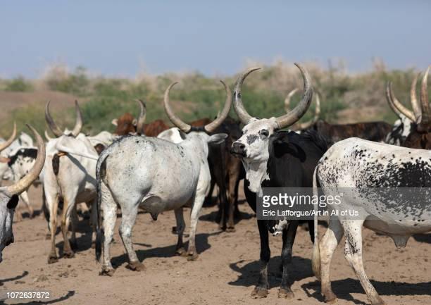 Cows in an arid area Afar region Semera Ethiopia on November 1 2018 in Semera Ethiopia