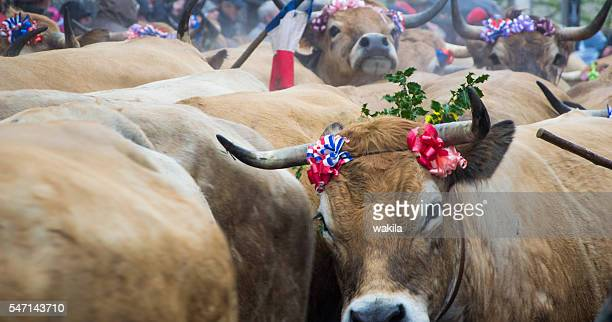 cows in aubrac easter cattle festival transhumance - almabtrieb stock-fotos und bilder