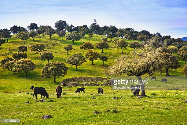 Cows in dehesa, typical pasture of Extremadura.