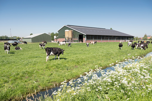 cows in dutch meadow on sunny summer day in south holland 958049994