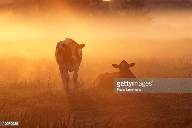 Cows in early morning sun