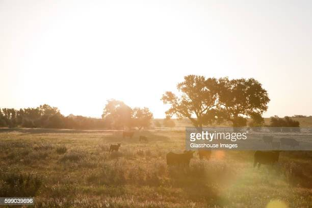 Cows in Field at Sunrise, Texas, USA