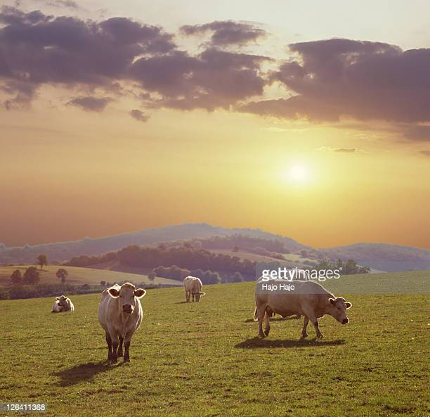 Cows in field at sunset