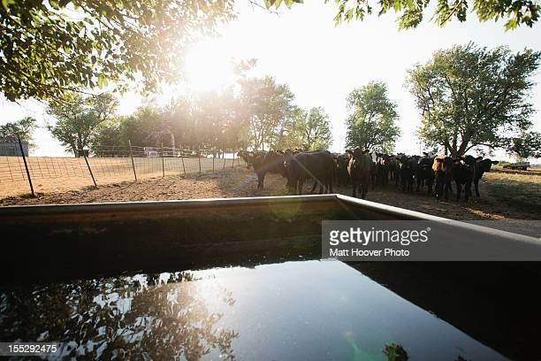Cows in field by water tank