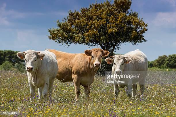 cows in field of wildflowers - extremadura fotografías e imágenes de stock