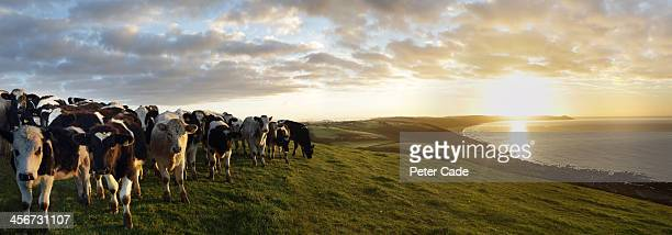 Cows in field overlooking coast at sunrise