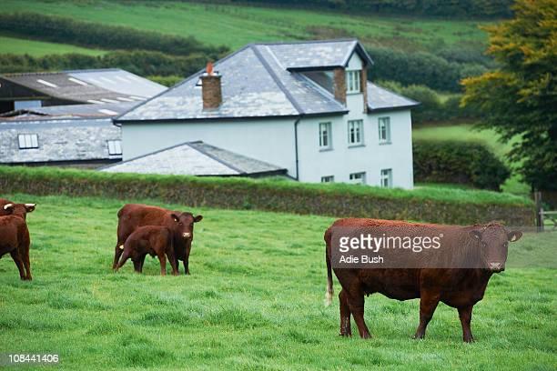 牛のフィールド - デヴォン州 ストックフォトと画像