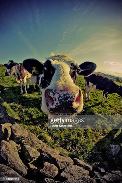 cows in field - scott macbride stock pictures, royalty-free photos & images