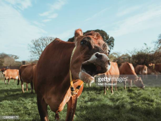 cows in field - beauty in nature stock pictures, royalty-free photos & images