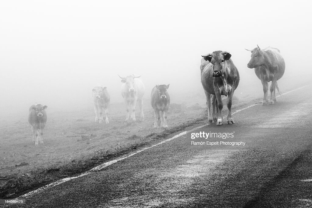 Cows in fog : Stock Photo