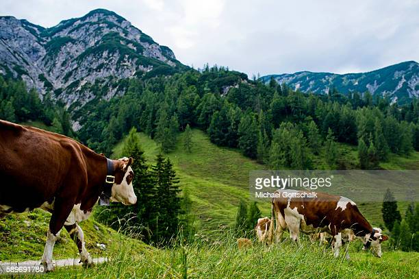 Cows in front of Mountains seen from a mountain meadow at Ascher Alm on July 23 2016 in Brandenberg Austria