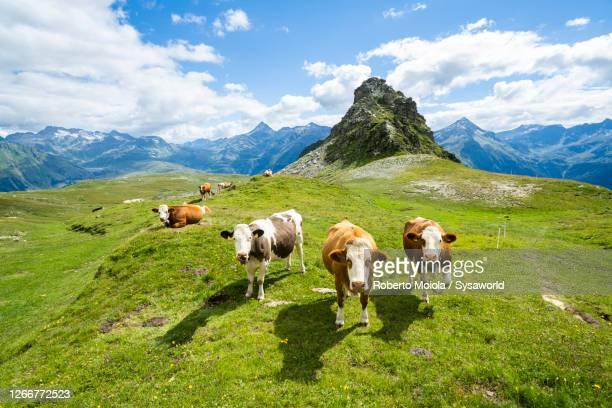 cows in green pastures, valtellina, lombardy, italy - pascolo foto e immagini stock
