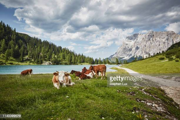 cows in lakeside valley, ehrwald, tyrol, austria - bavarian alps stock pictures, royalty-free photos & images